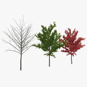 young tree red maple 3d model