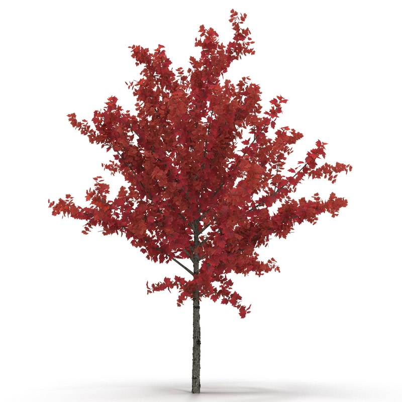 3d young tree red maple model