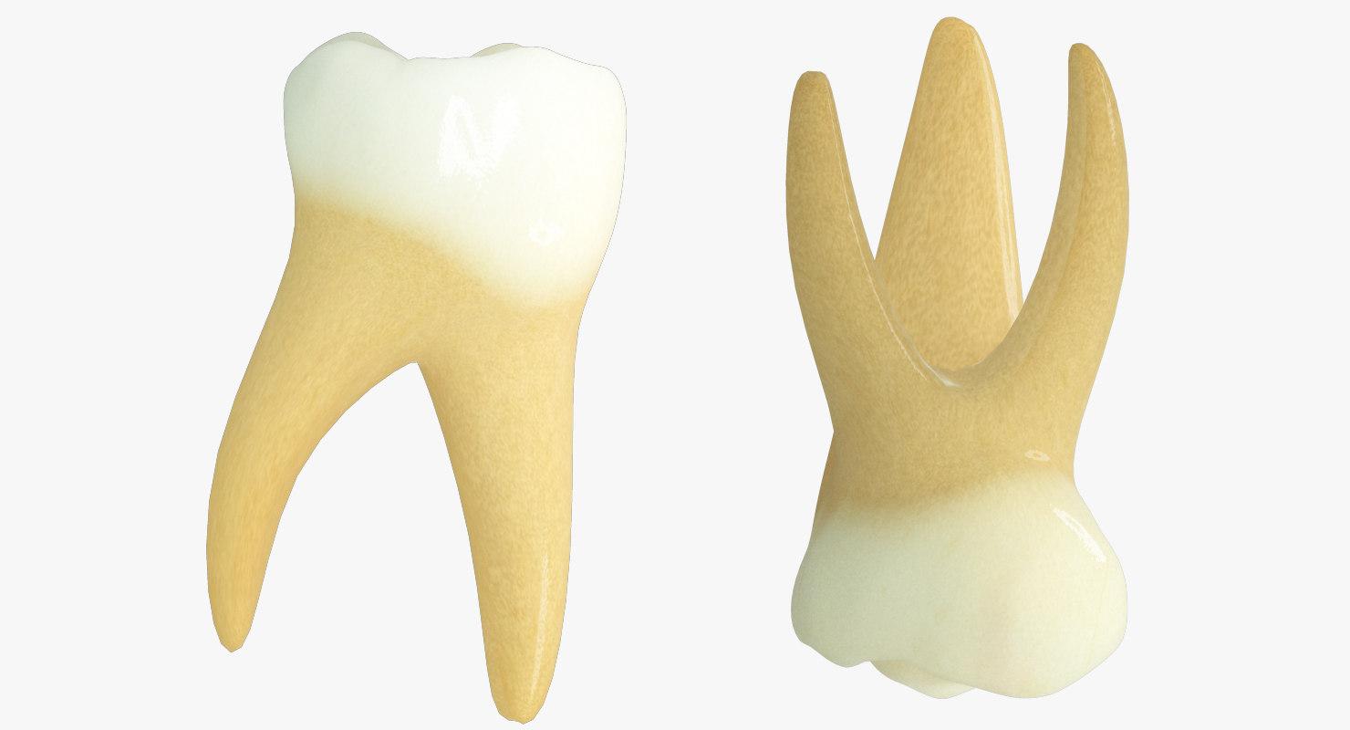 primary molars max