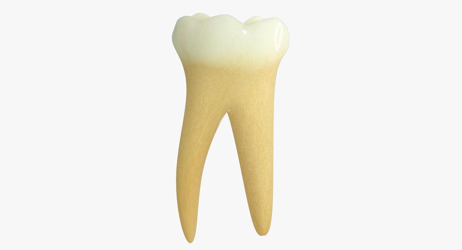 3d model primary molar lower
