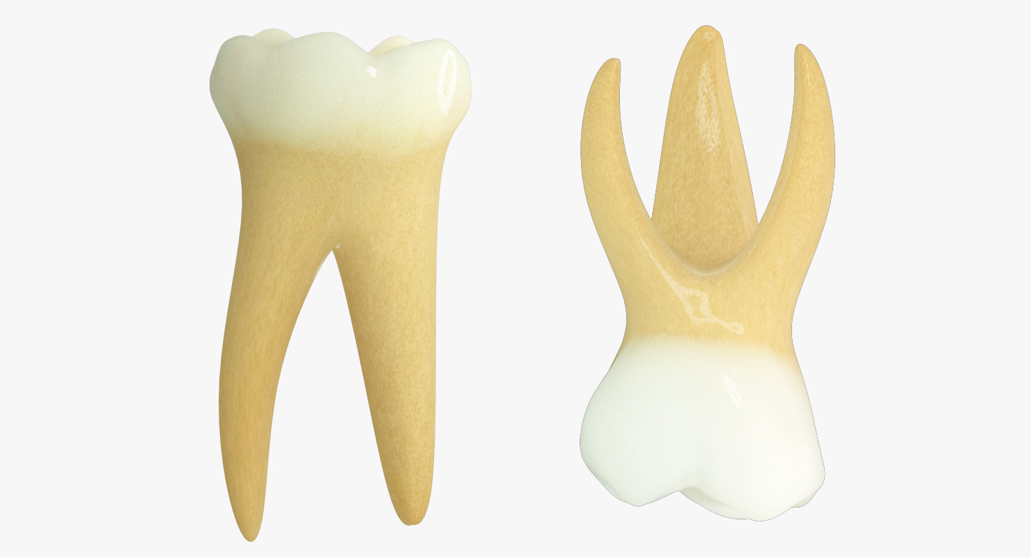 3ds max primary second molars