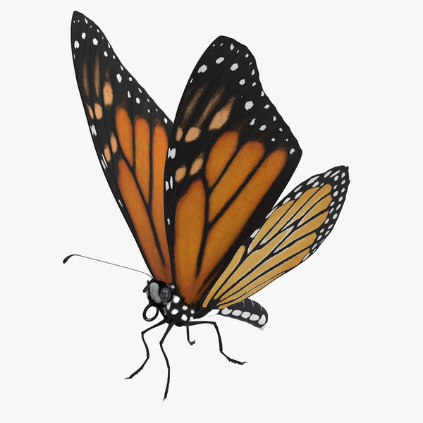 monarch butterfly standing 01 max