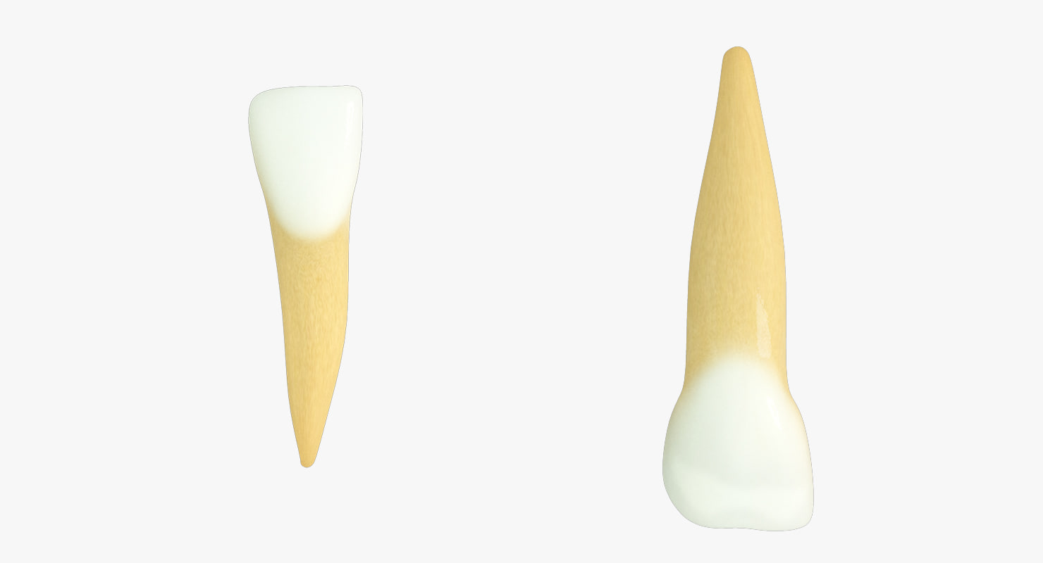3d model primary lateral incisors