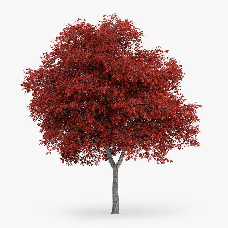 northern red oak 8 3d model