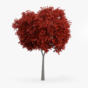northern red oak 5m 3d c4d
