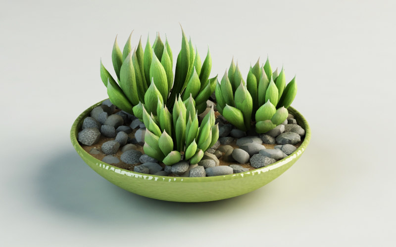 haworthia translucens 3d model