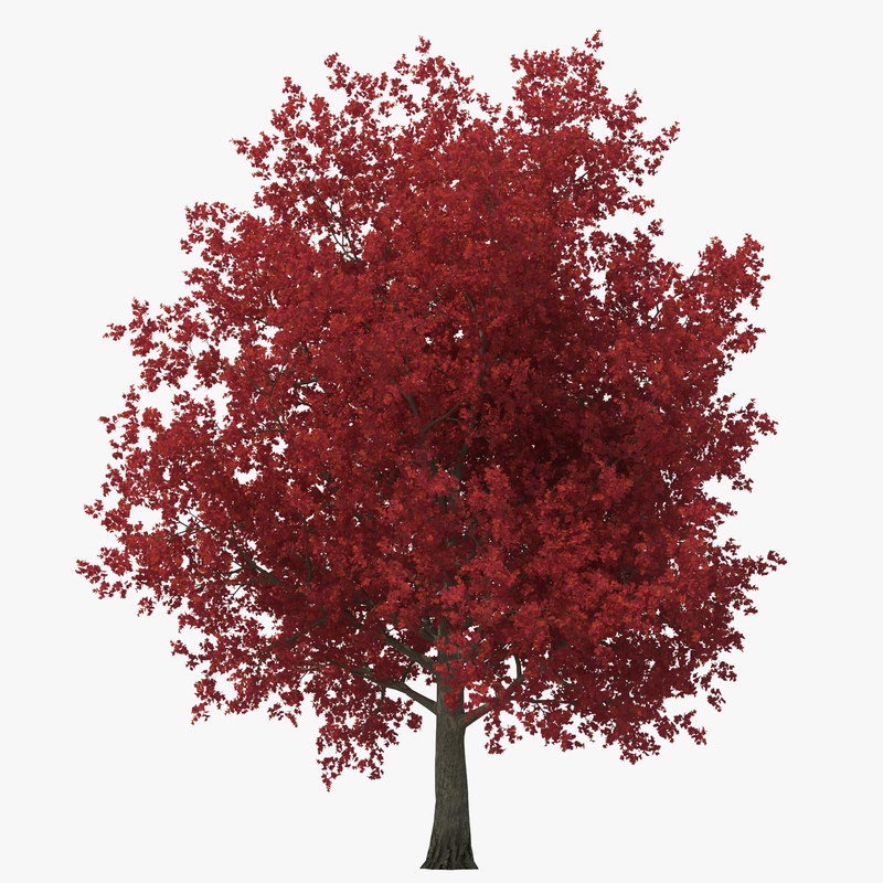 red maple tree autumn 3d model