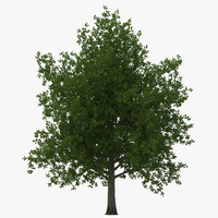 Red Maple Tree Summer 3D Model