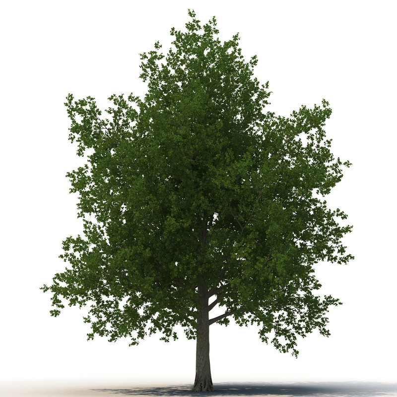 3d model of red maple tree summer