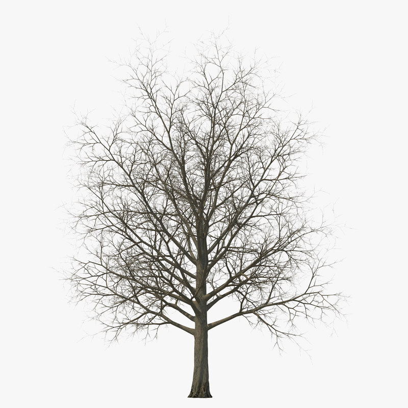 3d model of red maple tree winter