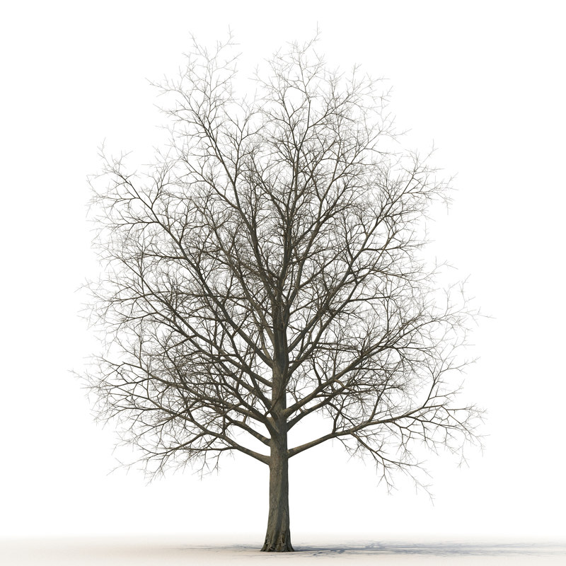 3d red maple tree winter model
