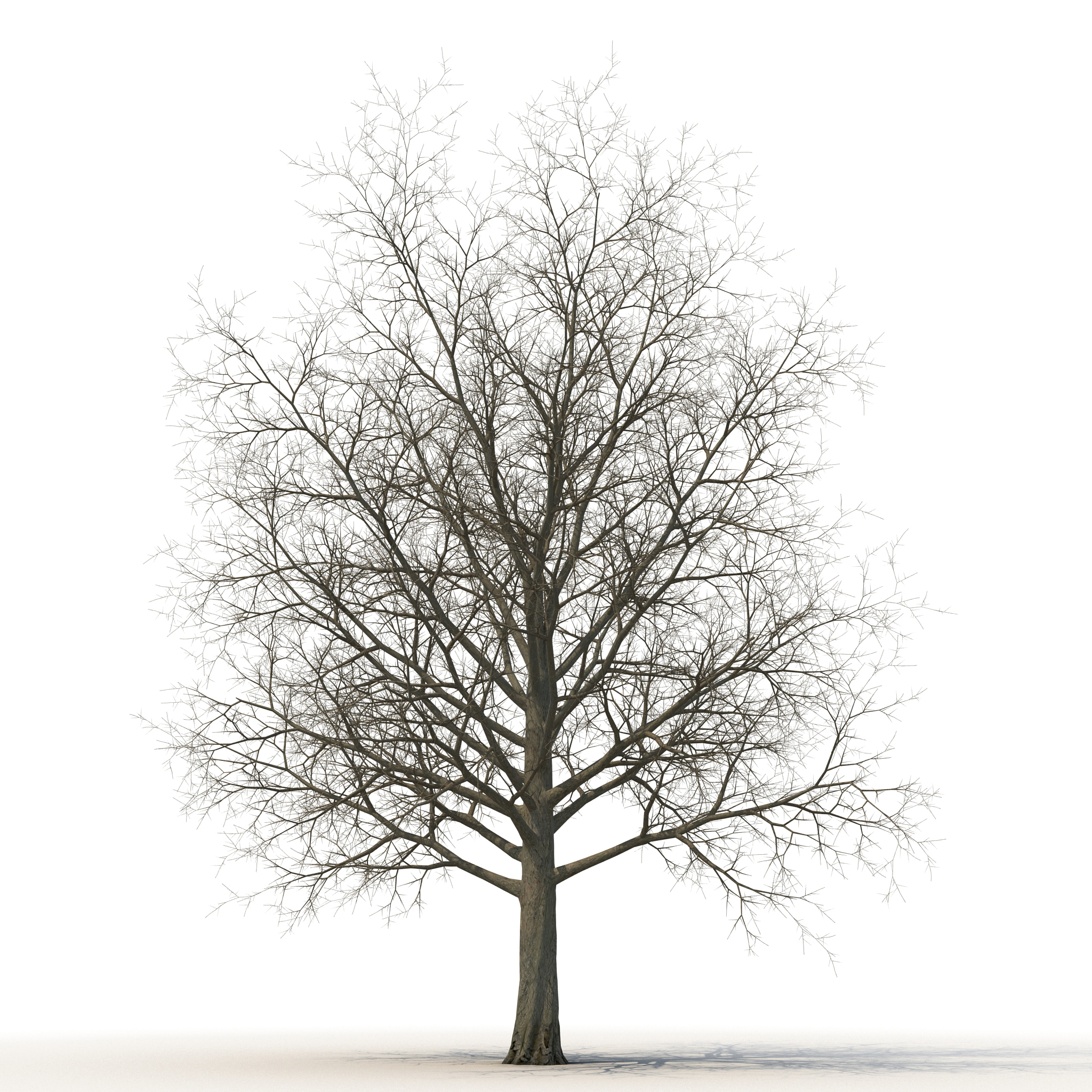 3d Red Maple Tree Winter Model