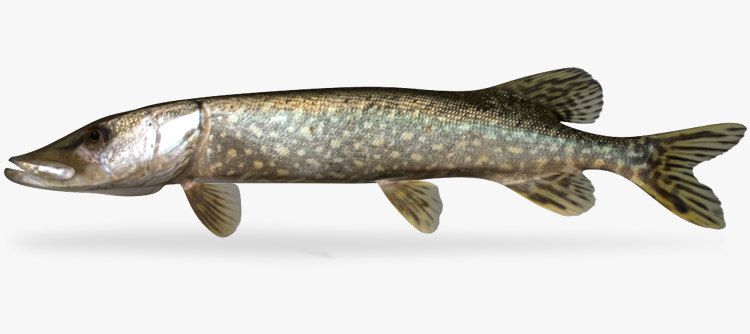 3d esox lucius northern pike
