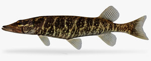 3d x esox americanus redfin pickerel