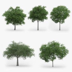 3d model austrian oak trees 5