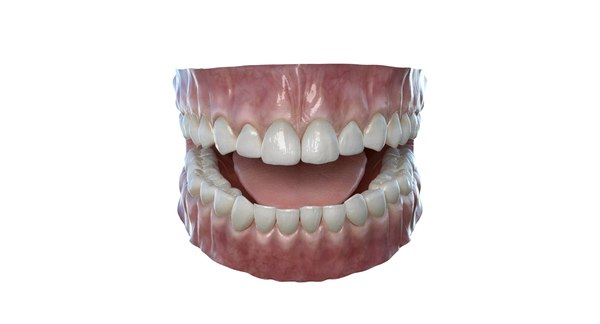 realistic tooth dentition 3d model