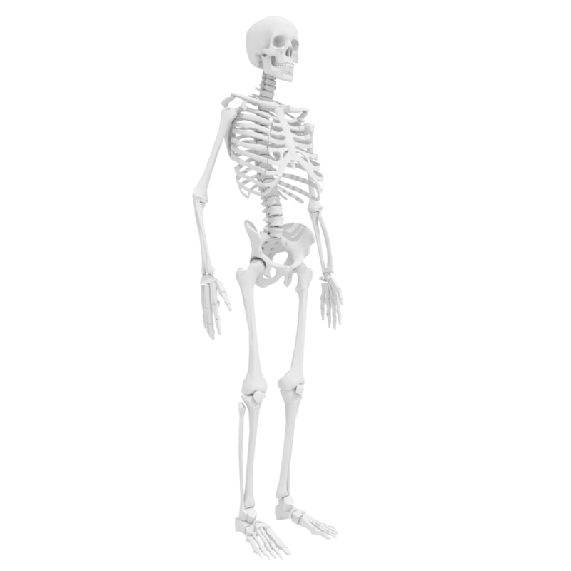 human skeleton obj