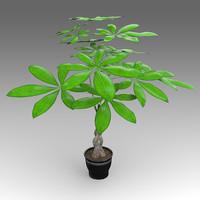 pachira aquatica plant house 3d x