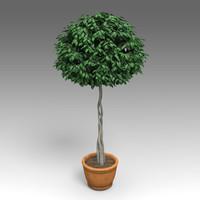 Ficus Benjamina Plant_009