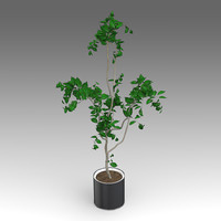 3d model of ficus growth plant house