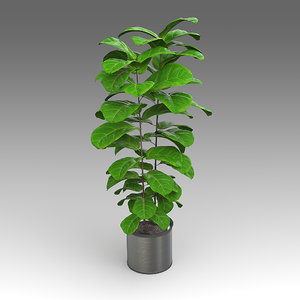 fiddleleaffig plant house 3d x