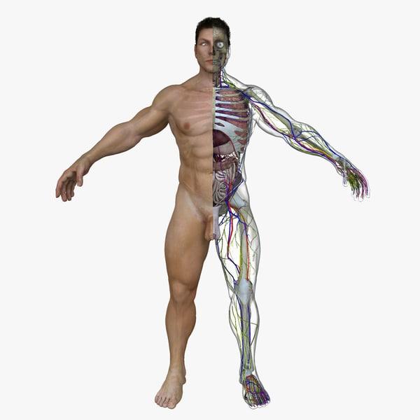 obj male body anatomy circulatory