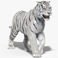 3d model tiger white fur animation