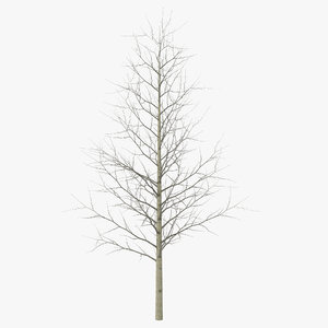 3d model young yellow poplar tree