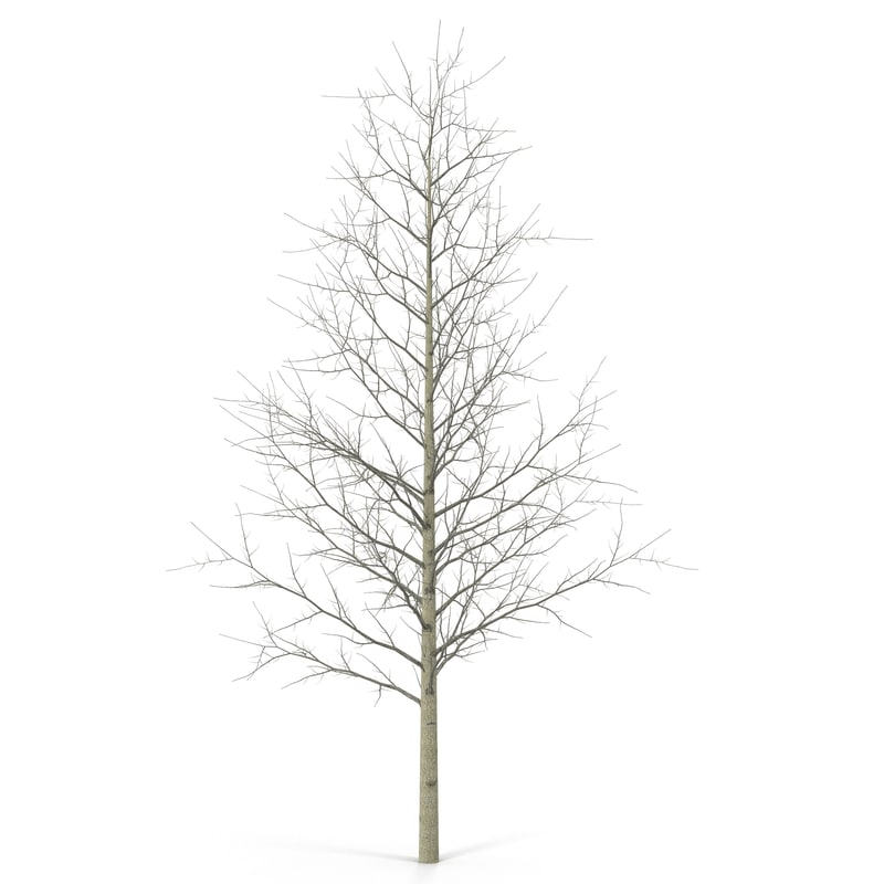 3d model young yellow poplar tree