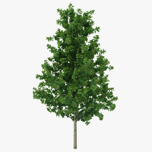young yellow poplar tree 3d c4d