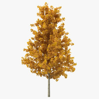 Young Yellow Poplar Tree Autumn 3D Model