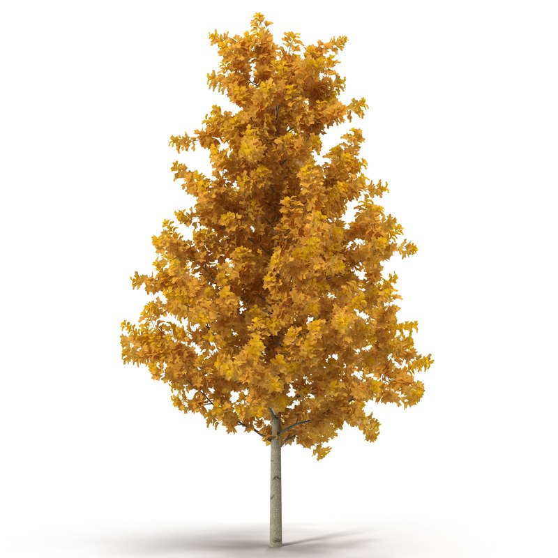 max young yellow poplar tree