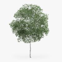 Silver Birch Tree 10.2m