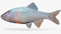 cyprinella lutrensis red shiner 3d model