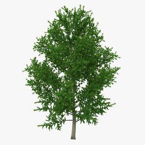 3d yellow poplar tree modeled model