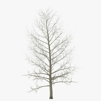 max yellow poplar tree winter