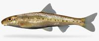 erimystax harryi ozark chub 3d model