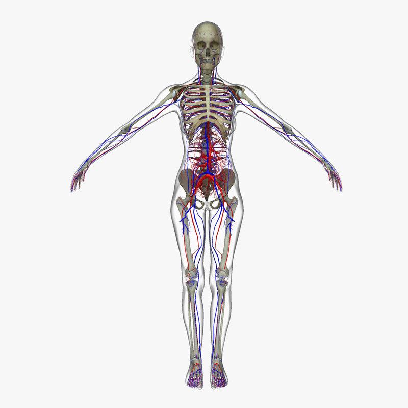 3d model of circulatory skeleton female
