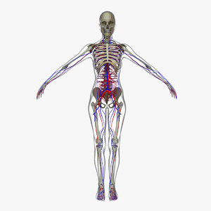 3d model of circulatory skeleton female