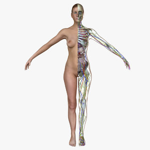 female body anatomy circulatory 3d obj