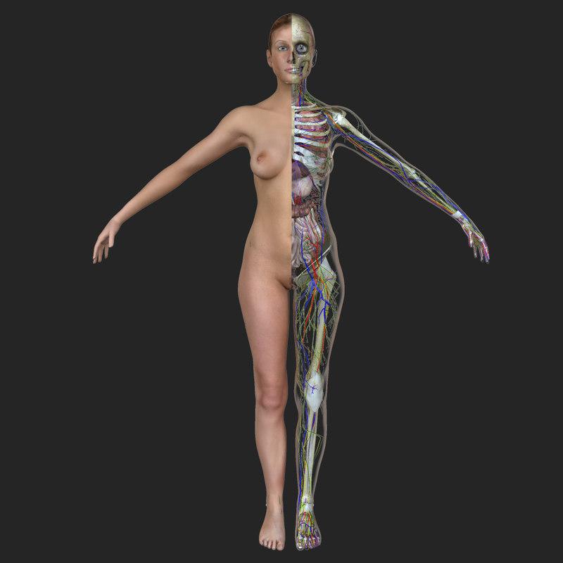 female body anatomy circulatory 3d obj