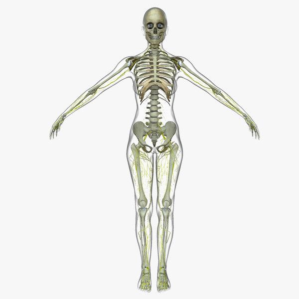 central nervous skeleton fe 3d model