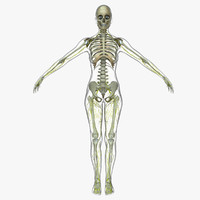 central nervous skeleton fe 3d model