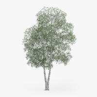 Silver Birch Tree 17.2m