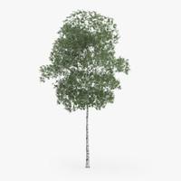 max silver birch 12 6m