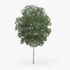 silver birch 9m 3d obj