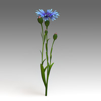 centaurea flower 3d model