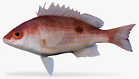 pacific red snapper 3d fbx