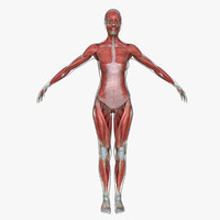 Muscle Anatomy Medical Edition Female