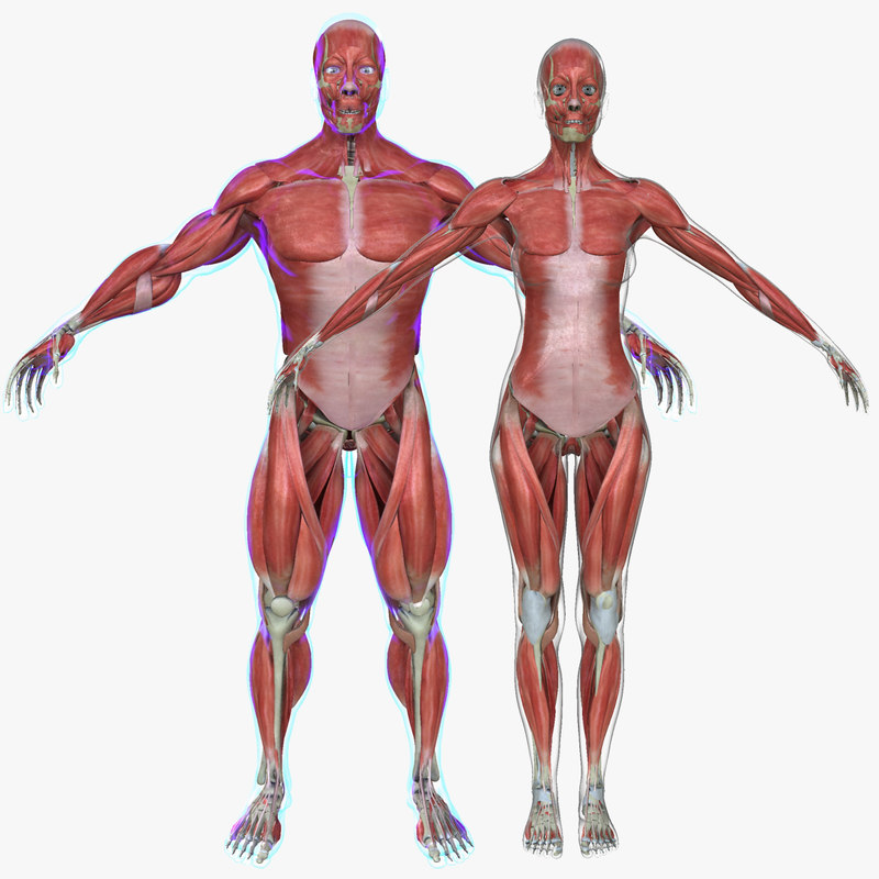 3d Model Muscle Anatomy Medical Edition